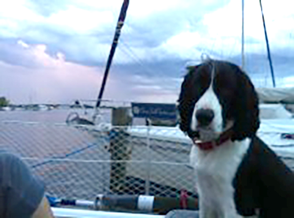 springer spaniel in cockpit